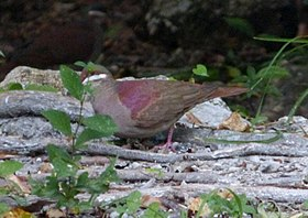 Key West Quail dove . Geotrtygon chrysia - Flickr - gailhampshire.jpg