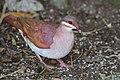 Key West quail-dove (Geotrygon chrysia).JPG