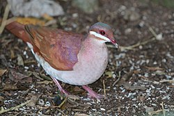 Key West quail-dove (Geotrygon chrysia).JPG