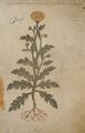 Khrusanthemum ê khalkas 373r Dioscoride Vienne.png