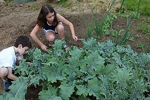 Kale - Children collecting leaves of red Russian kale (Brassica napus L. subsp. napus var. pabularia (DC.) Alef.) in a family vegetable garden