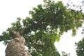 Kigelia africana 43zz.jpg