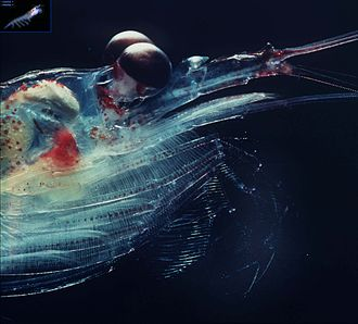 Antarctic krill - The head of Antarctic krill. Observe the bioluminescent organ at the eyestalk and the nerves visible in the antennae, the gastric mill, the filtering net at the thoracopods and the rakes at the tips of the thoracopods.