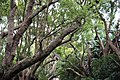 Kirstenbosch National Botanical Garden - Cinnamomum camphora02.jpg