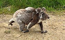 Mére koala marchant sur un sol terreux avec son petit sur le dos qui s'agrippe à son cou