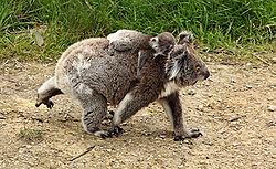 definition of koala