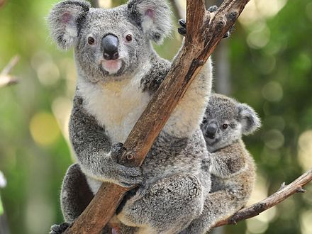 Koala s mladim - jedan...