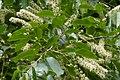 Korina 2011-05-14 Prunus serotina.jpg