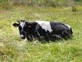 Krowa - panoramio.jpg