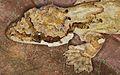 Kuhl's Flying Gecko (Ptychozoon kuhli) (8744099229).jpg