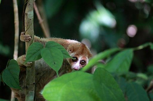 Kukang kalimantan (Nycticebus borneanus)