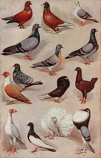Natural selection - Charles Darwin noted that pigeon fanciers had created many kinds of pigeon, such as Tumblers (1, 12), Fantails (13), and Pouters (14) by selective breeding.