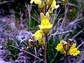 LINARIA SUPINA - MONTSEC - IB-967 (Violeta de pastor).jpg