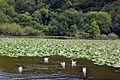 Lac Conservatoire botanique national de Brest.jpg
