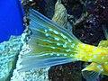 Lactoria cornuta (cola).006 - Aquarium Finisterrae.JPG