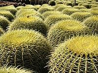 Large number of barrel cactuses