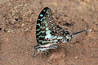 Graphium antheus - Image: Large striped swordtail (Graphium antheus) underside