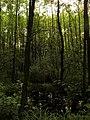 Leśne mokradła - panoramio (2).jpg