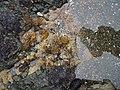 Leathesia difformis (L.) Aresch. (AM AK297970-2).jpg