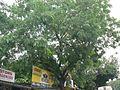 Lebbeck tree (1069598726).jpg