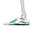 Left Third metatarsal bone02 lateral view.png