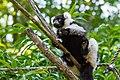 Lemur (36040366053).jpg