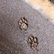 Leopard's paw print.jpg