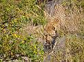 Leopard-Serengeti.jpg