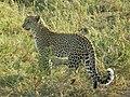 Leopard (1128858582).jpg
