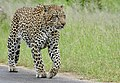 Leopard (Panthera pardus) male walking on the road ... (50148560733).jpg