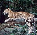 Leopard From Singapore Zoo-1.jpg