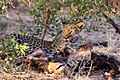 Leopard feeding Botswana.jpg