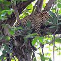 Leopard resting.jpg