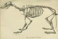 Leopold v. Schrenck - Nyctereutes procyonoides skeleton.png