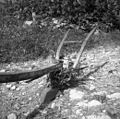 "Lesen ""seučedur"" (plug) za sevčat, Senik 1953.jpg"