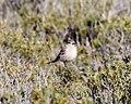 Lesser Shrike-tyrant (Agriornis murinus) (15340988473).jpg