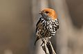 Lesser Striped Swallow, Cecropis abyssinica at Pilanesberg National Park, South Africa (29733273836).jpg