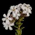 Leucopogon cordatus - Flickr - Kevin Thiele.jpg
