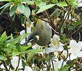 Lewin's Honeyeater. Meliphaga lewinii - Flickr - gailhampshire (1).jpg