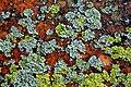 Lichen (15274384847).jpg