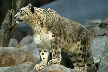 Snow leopard in the San Diego Zoo.