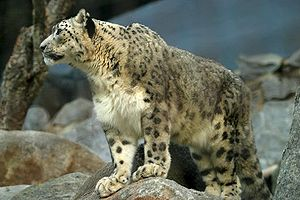Khunjerab Pass - Snow leopard, an endangered species, is found in the Khunjerab National Park