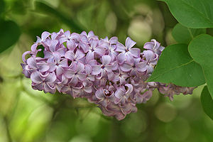 A lilac bush (Syringa vulgaris) showing a pani...