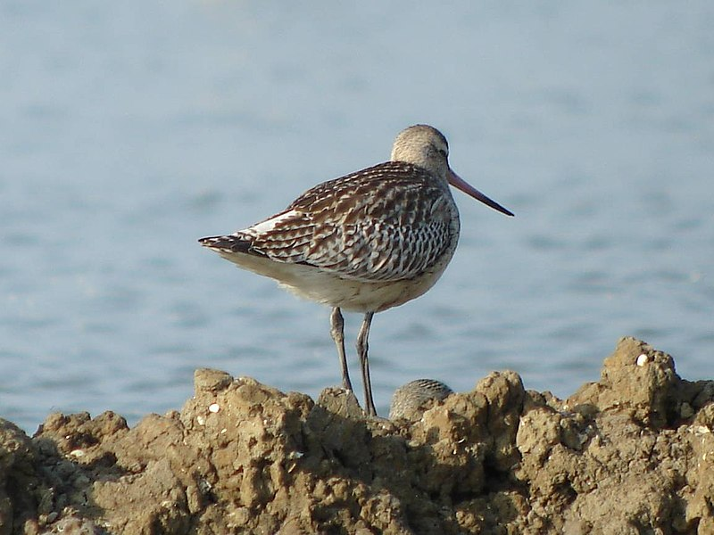 Bar-tailed Godwit (Limosa lapponica) - Photographed at Teich Bird Reserve, France