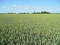 Lincolnshire wheat prairie - geograph.org.uk - 1398150.jpg