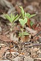 Lindera triloba (seedling s4).jpg