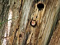 Lineated Barbet- Looking out of its nest I4 IMG 2620.jpg