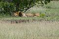 Lion (Panthera leo) sleeping (16596731006).jpg