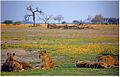 Lioness pride resting.jpg