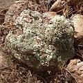 Liquen escudo de roca (Xanthoparmelia sp.).jpg